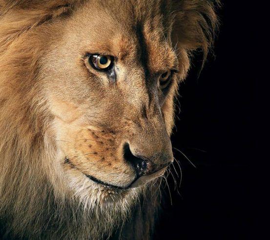Фотообои морда льва 21270
