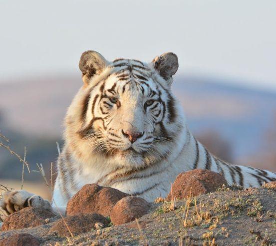 Фотообои белый тигр 20791