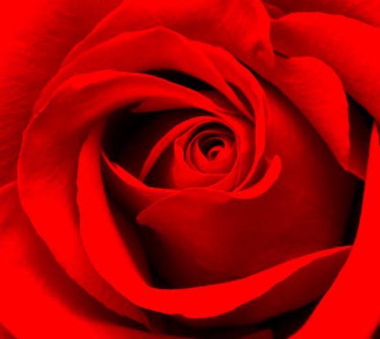 Фотообои Красная роза 11650