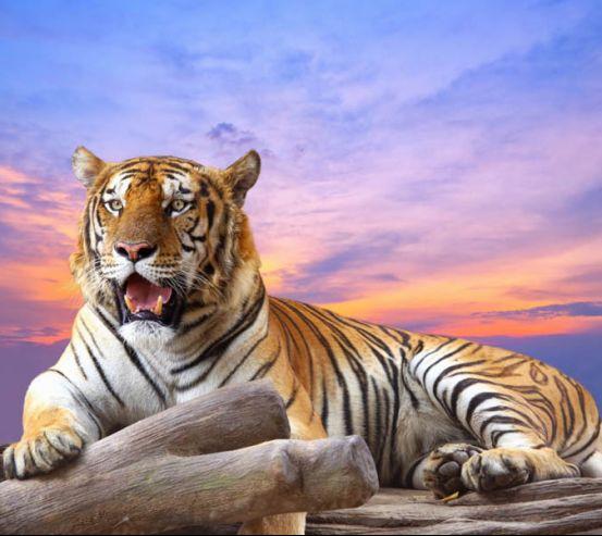 Фотообои тигр 24827