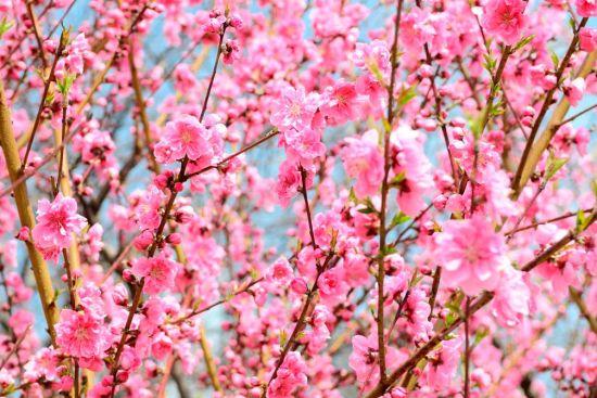 Фотообои Кипарис розовый