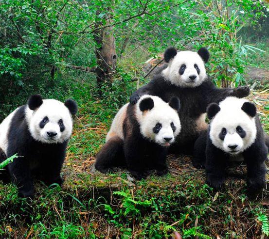 Фотообои Панды в лесу 2957