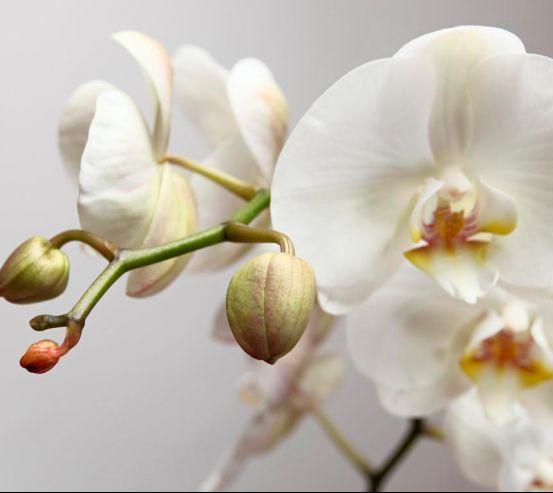 Фотообои Орхидея белоснежная 2512