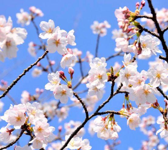 Фотообои Расцвели абрикосы весной 8167