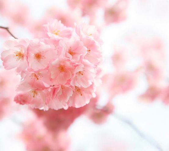 Фотообои Вишня цветет 1356