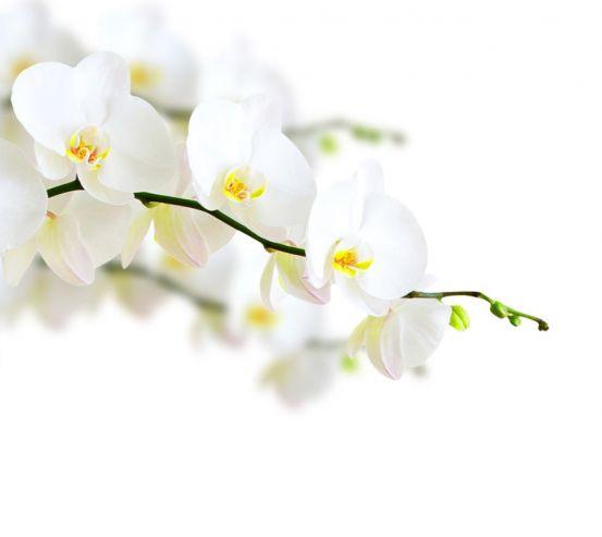 Фотообои веточка белой орхидеи 21212
