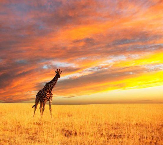 Фотообои Жираф в поле 3056