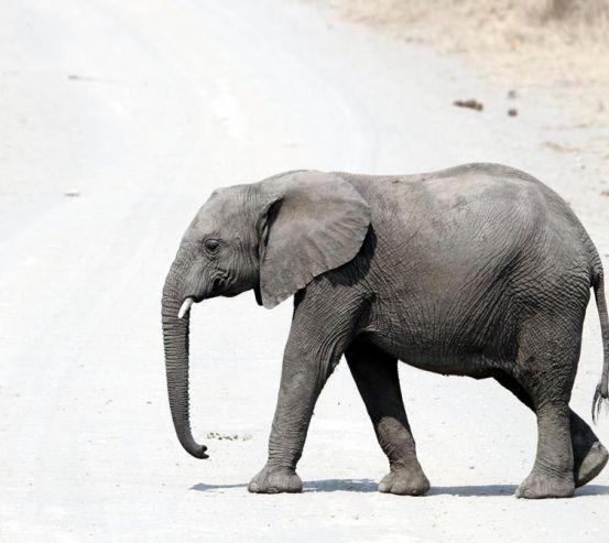 Фотообои Слон в пустыне 8315