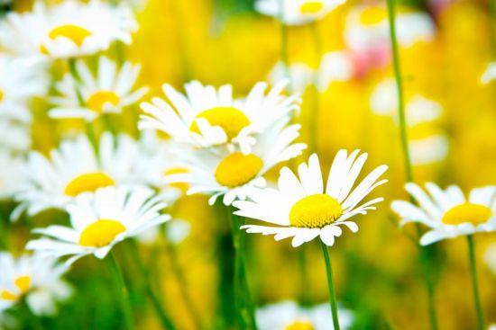 Фотообои Полевые белоснежные ромашки