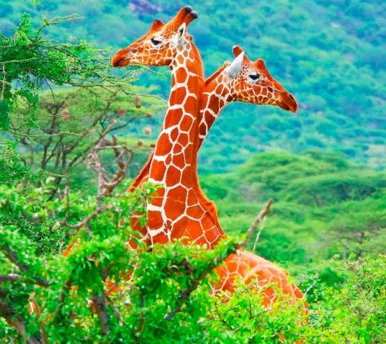 Фотообои Жирафы среди деревьев 8170