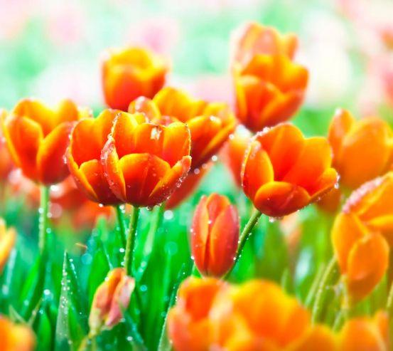 Фотообои Красно-желтые тюльпаны 1314