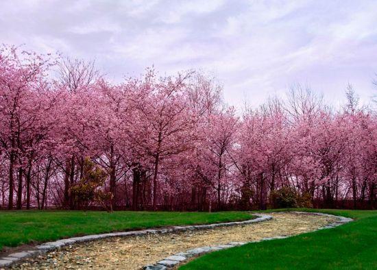 Фотообои Цветущие вишни