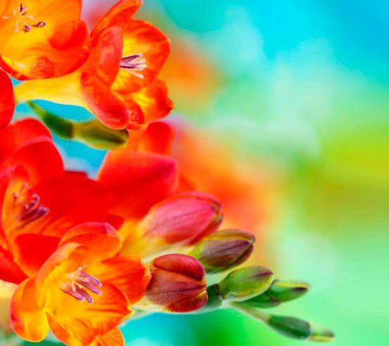 Фотообои Фрезия махровая оранжевая 5374