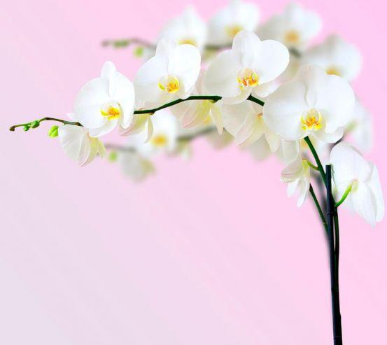 Фотообои Веточка орхидей белоснежных 7508