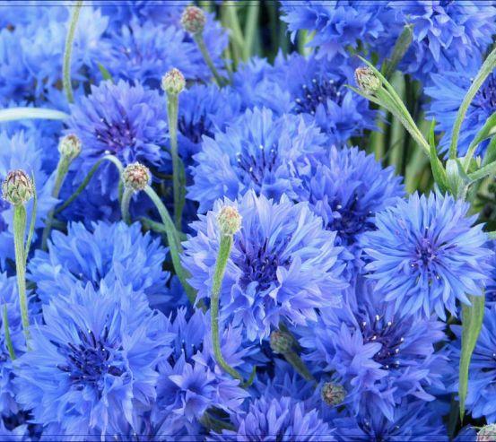 Фотообои Голубые васильки 1108