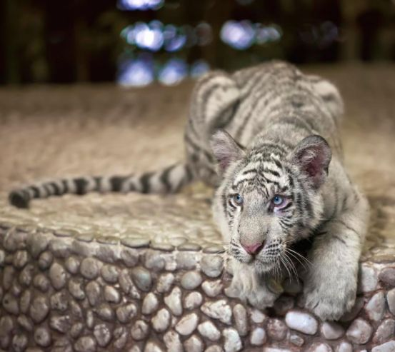 Фотообои Притаившийся тигр 8467