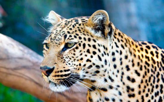 Фотообои Гордый гепард