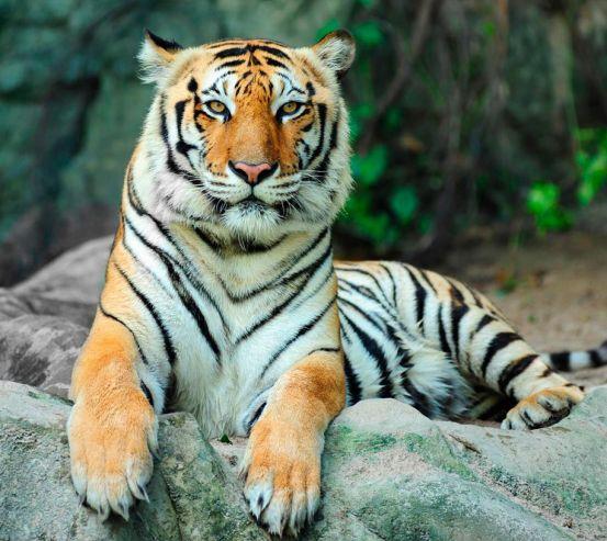 Фотообои Отдыхающий тигр 2954