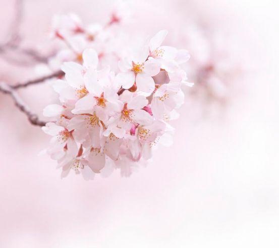 Фотообои Цветущий весной абрикос 1679