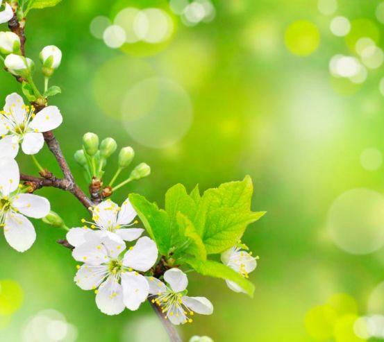 Фотообои Цветущий весной абрикос 1412