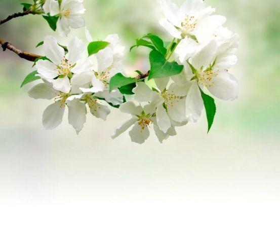 Фотообои Абрикос цветет 1368