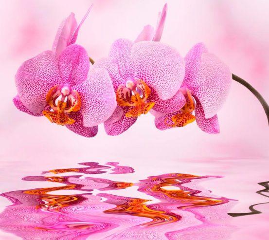 Фотообои Орхидеи розовые 1360