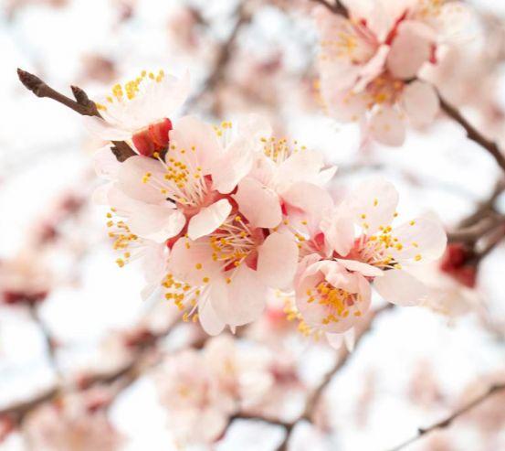 Фотообои Цветущий абрикос весной 1676