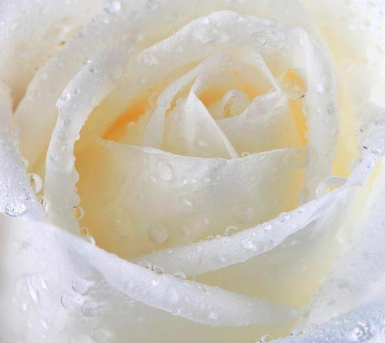 Фотообои Роза 13674