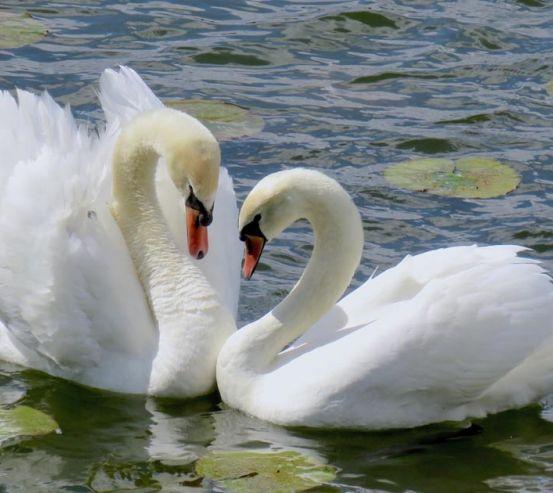 Фотообои два лебедя 21324