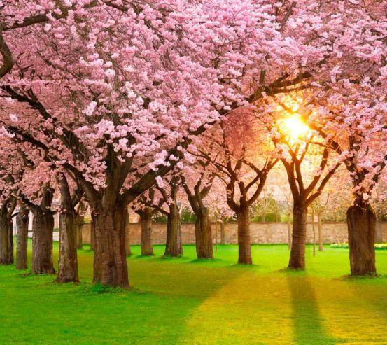 Фотообои Цветущие вишни 8514