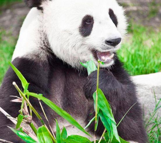 Фотообои Отдыхающая панда 6548