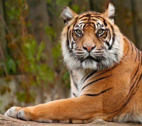 Фотообои Настороженный тигр 0430