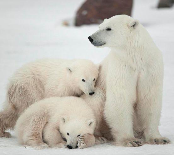 Фотообои Семья белых медведей 2956