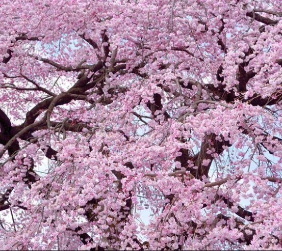 Фотообои Цветение сакуры под потолок 22795