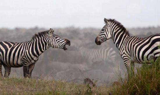 Фотообои Общение зебр