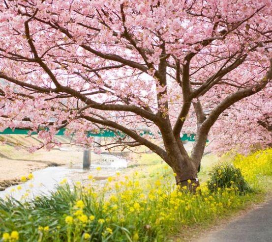 Фотообои Цветущие вишни 9835
