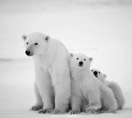 Фотообои Медведи полярные 3878