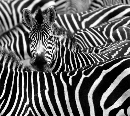Фотообои Любопытная зебра 13690