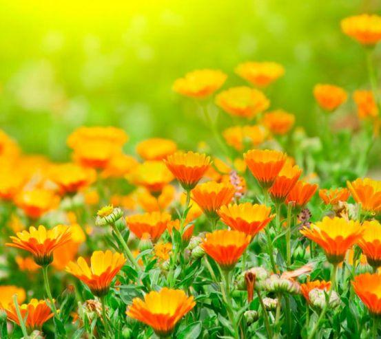 Фотообои Оранжевые чернобривцы 5246