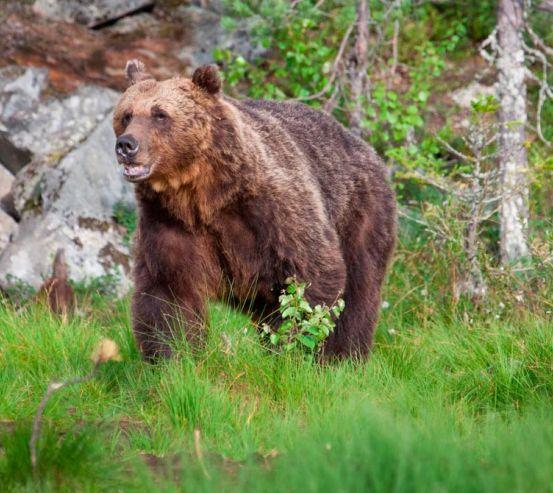 Фотообои Медведь в лесу 1175