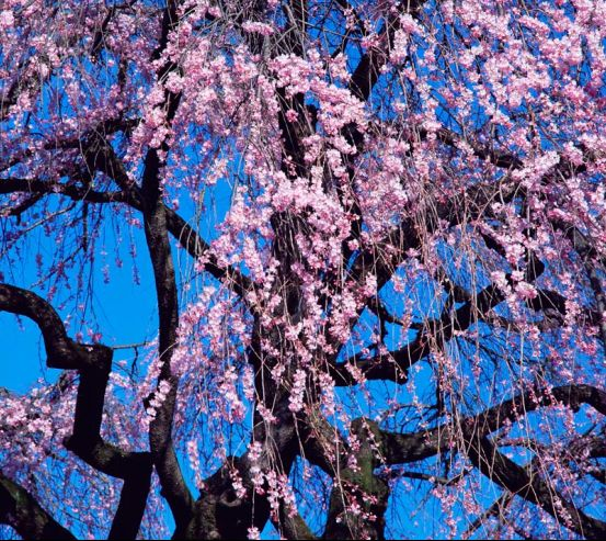 Фотообои Цветущая сакура 1098