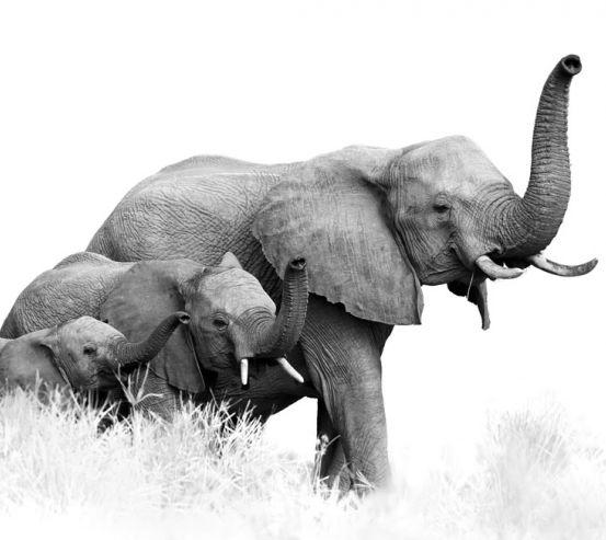 Фотообои  слоны 21111-h