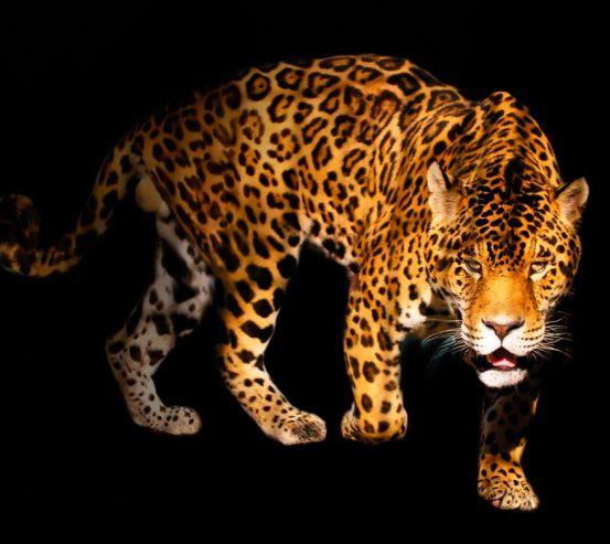 Фотообои Нападающий гепард 11657