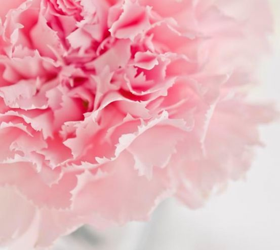 Фотообои Пион бледно-розовый 5166