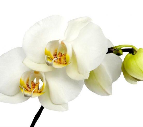 Фотообои Орхидеи желто-белые 8225