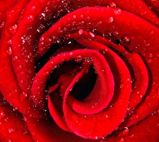 Фотообои Роза алая в росе 6871