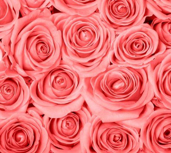Фотообои Кремово-розовые розы 9757