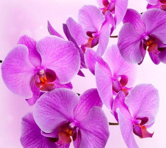 Фотообои Веточка сиреневых орхидей 10971