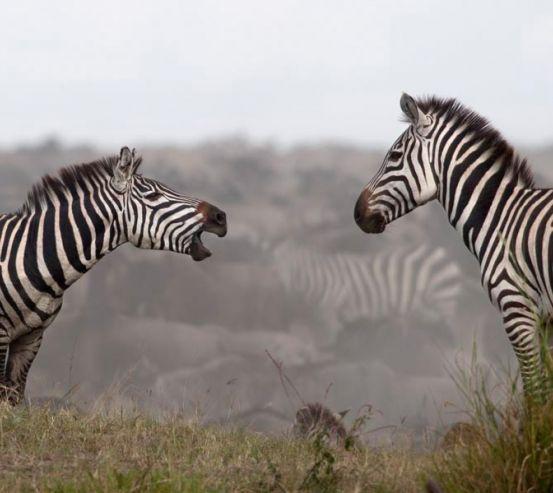 Фотообои Общение зебр 1166