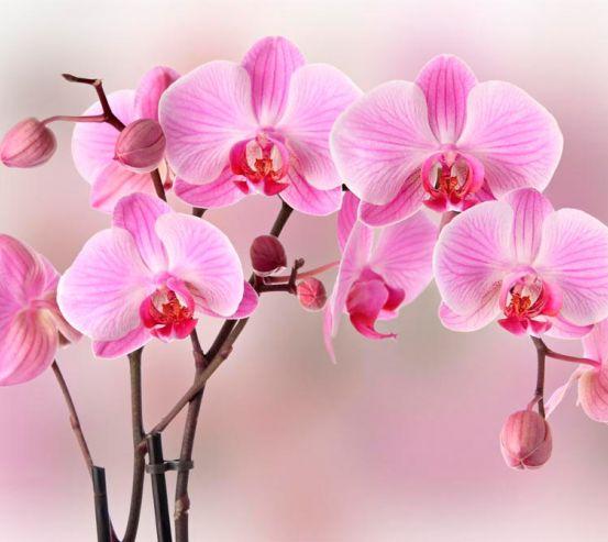 Фотообои Орхидеи розовых тонов 12693